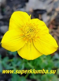 КУПАЛЬНИЦА КАРЛИКОВАЯ (Trollius pumilus) цветок крупным планом.  НОВИНКА!   ЦЕНА 400 руб