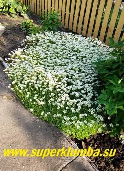 """КАМНЕЛОМКА АРЕНДСА """"ШНЕЕТЕППИХ"""" (Saxifraga x arendsii """"Schneeteppich"""") Цветки до 2 см в диаметре белые, Цветет в мае — июне очень обильно, Хорошо смотриться в каменистом саду, бордюрах, и др. Прекрасно сочетается с розовым и малиновым сортами.  ЦЕНА 250 руб (7-12 розеток)"""
