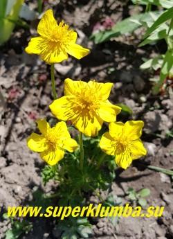 КУПАЛЬНИЦА КАРЛИКОВАЯ (Trollius pumilus) низенькая купальница с  золотисто-жёлтыми,   цветами диаметром 3-3,5 см., листья тёмно-зелёные, рассеченные   ажурные,  собраны в прикорневую розетку.  Цветёт в мае-июне. Высота 10-20 см. Солнце-полутень. НОВИНКА!  ЦЕНА 400 руб