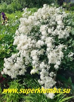 КЛЕМАТИС ПРЯМОЙ «Пурпуреа» (Clematis recta «Purpurea») цветок белый с кремово-желтыми тычинками, простой, 4 лепестка, диаметр цветка 2 см, обладает сильным сладким ароматом. Цветет на побегах текущего года. Обрезка необходима ранней весной или осенью, оставляя 1-2 узла. Этот сорт устойчив к заболеваниям и морозостоек, выдерживает полутень. НОВИНКА! ЦЕНА 400-500 руб (кустик)
