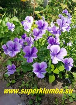 """ФИАЛКА РОГАТАЯ """"Сиренево-фиолетовая"""" (Viola cornuta )  сорт с крупными сиренево-фиолетовыми цветами,    стабильный многолетник, образует кустики высотой 15- 20 см, НОВИНКА! ЦЕНА 300 руб  (1 дел)"""