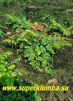 АДИАНТУМ ОЧАРОВАТЕЛЬНЫЙ  (Adiantum venustum)  Миниатюрный  нежный папоротник вырастает до 20 см в высоту.  На темно-пурпурных черешках расположены длинные светло-зелёные пластины со слегка заострённым кончиком. После заморозков листва приобретает бурую окраску. НОВИНКА!  ЦЕНА 600 руб  НЕТ НА ВЕСНУ