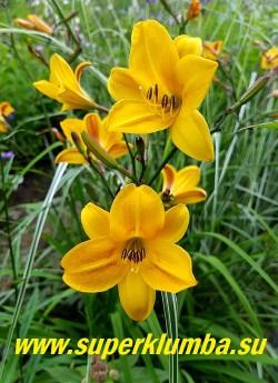 Лилейник ГОЛДЕН ЧАЙМЗ  (Hemerocallis Golden Chimes)   Красивый обильноцветущий старинный сорт. Цветы яично-желтые с красновато-коричневой внешней стороной и темными бутонами по форме напоминают колокольчики, цветоносы пурпурные с большим количеством бутонов, диаметр 6-8 см, ароматный, высота 60 см, цветет июль-август, сорт имеет награды. НОВИНКА! ЦЕНА 250 руб (1 шт) или 400 руб (кустик из 3 шт)