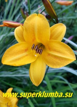 Лилейник ГОЛДЕН ЧАЙМЗ  (Hemerocallis Golden Chimes)   Цветы яично-желтые с красновато-коричневой внешней стороной и темными бутонами по форме напоминают колокольчики НОВИНКА! ЦЕНА 250 руб (1 шт) или 400 руб (кустик из 3 шт)