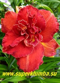 Лилейник МОЗЕС ФАЙЕР (Hemerocallis Moses Fire) Один из лучших махровых сортов. Цветки   красные с узкой золотистой каймой и зелёным горлом, крупные, диаметр цветка до 15 см, Высота 45-60см. На цветоносе до 20 бутонов. Цветение в июле-августе. НОВИНКА! ЦЕНА 500 руб  (1 шт)