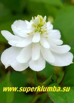 """ХАУТТЮЙНИЯ СЕРДЦЕВИДНАЯ  ПЛЕНА (Houttuynia cordata f. Plena)   очень красивая форма с крупными махровыми цветами  с необычной  формой   """"ёлкой"""". НОВИНКА! ЦЕНА 350 руб (1 шт)"""