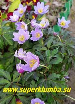 АНЕМОНА ДУБРАВНАЯ «Блю Бьюти (Anemone nemorosa «Blue Beauty»)  ЦЕНА 400 руб (делёнка)