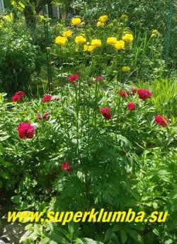 КУПАЛЬНИЦА ВЫСОЧАЙШАЯ (Trollius altissimus) Купальница — гигант! Самая высокорослая из купальниц, с крупными яркими жёлтыми цветками, с оранжевыми тычинками. Высота кустов с цветоносами 80-130 см. НОВИНКА! РЕДКОЕ! ЦЕНА 350 руб (делёнка)