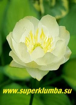 "КУПАЛЬНИЦА ГИБРИДНАЯ ""Чеддер"" (Trollius hybr.""Chedder"") цветок крупным планом. ЦЕНА 350 руб (делёнка)"