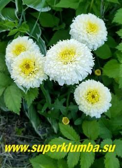 Нивяник ЛУНА (Leucanthemum Luna)  Очень красивый новый  компактный обильноцветущий сорт. Цветки  густомахровые плотные помпончики,   6-7 см в диаметре, сначала желтого цвета,  по мере развития, становятся двуцветными, белыми  с желтым центром. . Высота  40-50 см.   НОВИНКА! НЕТ В ПРОДАЖЕ!
