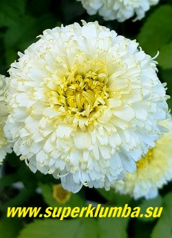 Нивяник ЛУНА (Leucanthemum Luna) цветок крупным планом. НОВИНКА! НЕТ В ПРОДАЖЕ