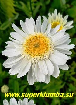 """Нивяник   САННИ САЙД АП (Leucanthemum  Sunny Side Up)  Цветок ровный, даже немного """"вогнутый"""", благодаря  особому строению краевых лепестков.    НОВИНКА! ЦЕНА 350 руб (делёнка)"""