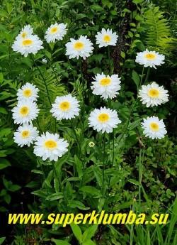 Нивяник САННИ САЙД АП (Leucanthemum Sunny Side Up) Аккуратные цветы диаметром 8 см с коротким широкими вогнутыми лепестками переходящими в маленькие игольчатые кремовые язычки вокруг яркого жёлтого центра. Цветок ровный, даже немного «вогнутый», благодаря особому строению краевых лепестков. Очень привлекательный сорт. Высота 60-70 см НОВИНКА! ЦЕНА 350 руб (делёнка)