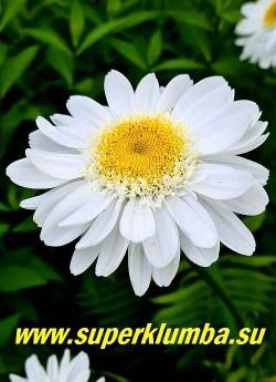 """Нивяник   САННИ САЙД АП (Leucanthemum  Sunny Side Up) .  Цветок ровный, даже немного """"вогнутый"""", благодаря  особому строению краевых лепестков.    Очень привлекательный сорт. НОВИНКА! ЦЕНА 350 руб (делёнка)"""