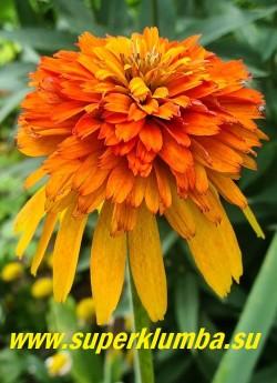 """Эхинацея """"МАРМЕЛАД"""" (Echinacea """"Marmalade"""") на фото цветок в полном роспуске становится мандариново-оранжевого цвета. НОВИНКА! ЦЕНА 500 руб (делёнка) НЕТ НА ВЕСНУ"""