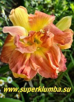Лилейник ЛОНГФИЛДЗ ТВИНС (Hemerocallis Longfield`s twins) огромные махровые, диаметром 15-17 см, очень эффектные оранжево-красные с розовыми переливами и ярким свечением цветы, лепестки слегка гофрированы, с жёлтым горлом, ароматный, высота 70 см. НОВИНКА! ЦЕНА 400 руб (1 шт)