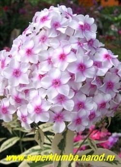Флокс метельчатый НОРА ЛЕЙ = ДАРВИН''С ДЖОЙС (Phlox paniculata Nora Leigh = Darwin''s Joyce) С, 70-80/3,2 Светло-розовый с ярким розово-малиновым глазком, который слегка расплывается по мере цветения, листва вариегатная, тёмно-зеленая со светлой широкой неравномерной каймой. ЦЕНА 300 руб (1 шт) или 600 руб (кустик : 3-4 шт)