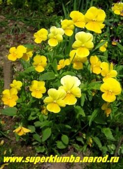 """ФИАЛКА ГИБРИД РОГАТОЙ """"Желтое совершенство"""" (Viola cornuta """"Yellow Perfection"""" ), образует кустики высотой 15- 20 см, цветет весь сезон крупными желтыми цветами с небольшим рисунком в основании нижних лепестков, высота 10-15см, малолетка (3-4 года) но легко возобновляется самосевом. НЕТ  В ПРОДАЖЕ"""