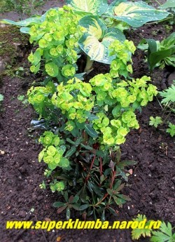 """цветущий куст МОЛОЧАЯ МИНДАЛЬНОГО """"Рубра"""" (Euphorbia amygdaloides """"Rubra"""") В Подмосковье желательно профилактическое укрытие на зиму. НОВИНКА! НЕТ  В ПРОДАЖЕ"""