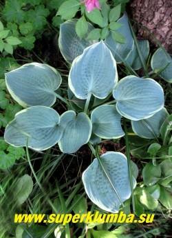 """Хоста ФРОСТЕД ДАЙМПЛС  (Hosta """"Frosted Dimples"""") Размер М. Образует плоский невысокий куст высотой до 30. Листья голубые с  кремово-желтой каймой, которая усиливается у взрослых растений, очень плотные,   слегка вафельные у взрослых кустов.  Великолепно """"держит"""" голубой  цвет в течение сезона. Почти белые цветы.  ЦЕНА 350 руб"""