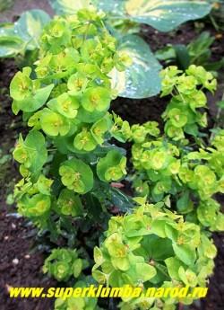 """МОЛОЧАЙ МИНДАЛЬНЫЙ """"Рубра"""" (Euphorbia amygdaloides """"Rubra"""") соцветие крупным планом. НОВИНКА! НЕТ  В ПРОДАЖЕ"""