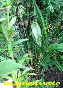 КАМЫШ (Schoenoplectus) изящное растение с тонкими круглыми зелеными стеблями, растущими вертикально вверх. На концах стеблей летом появляются многоколосковые боковые соцветия . Красиво смотрится в садах природного стиля, в цветочных композициях, оттеняя яркоцветущие растения. Но лучше всего подходит для оформления берегов водоемов и влажных мест, НОВИНКА! ЦЕНА 150 руб (делёнка)