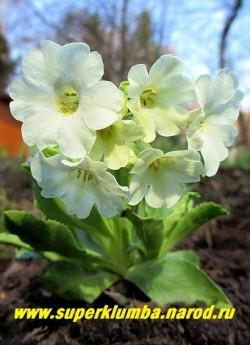 """Примула ушковая """"БЕЛАЯ"""" (Primula аuricula) белая крупноцветковая с ароматом, высота до 15 см, цветет май-июнь, НОВИНКА! ЦЕНА 300 руб (штука)"""