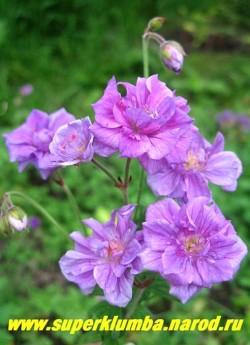 """ГЕРАНЬ ГИМАЛАЙСКАЯ """"ПЛЕНУМ"""" (Geranium himalayense ''Plenum'') , махровые цветки оригинального голубовато- фиолетового цвета с красноватыми жилками. Листья опушенные глубоко неравномерно рассеченные , высота куста 30 см, цветет июнь-август.  ЦЕНА  250 руб."""