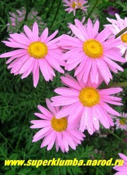 """ПИРЕТРУМ """"Гигант Робинсона  розовый""""  (Pyrethrum hybridum """"Robinsons Giants"""")  крупный цветок, диаметр 7-8 см, цветет июнь-июль, высота 70 см,  ЦЕНА 200  руб (1 делёнка)"""