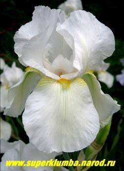 Ирис ГЕНРИ ШОУ (Iris Henry Show)  очень крупный снежно-белый с оранжевой бородкой и небольшим желтым узором у основания нижних лепестков, неприхотливый и обильноцветущий, среднераннего срока цветения, высота до 120 cм, ЦЕНА 150 руб (1 шт)  или  250 (кустик из 2-3 шт)