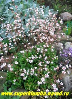 Цветущий куст КАМНЕЛОМКИ ТЕНИСТОЙ на горке. Многочисленные мелкие нежно-розовые цветы 0,5-0,8 cм в диаметре собранные в соцветия-метелки на высоких до 40 см цветоносах. Напоминает цветущую гипсофилу. ЦЕНА 150 руб (3 розетки)