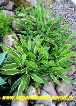 """Хоста СТИЛЕТТО (Hosta """"Stiletto"""") размер DS , стреловидные длинные узкие листья с волнистым краем и тонкой белой каймой формируют изящный куст высотой 10-15 см, легкая тень, хороша для использовании в бордюре, быстро разрастается. ЦЕНА 200 руб. или 400 руб куст (3-4 шт)"""