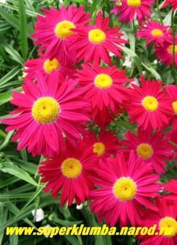 """ПИРЕТРУМ """"Гигант Робинсона  КРАСНО-БОРДОВЫЙ"""" (Pyrethrum hybridum """"Robinsons Giants"""") крупный цветок , диаметр 7-8 см, цветет июнь-июль, высота 70 см,   ЦЕНА 250 руб (1 делёнка)"""