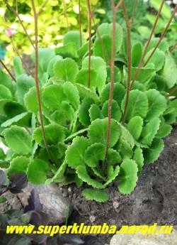 КАМНЕЛОМКА ТЕНИСТАЯ (Saxifraga x urbium)  Образует густой ковер 10- 15 см высотой. Лист вечнозеленый, лопатовидный,зубчатый по краю. Прекрасно растет на теневой стороне горки и во влажной тени деревьев Цветет май-июнь. ЦЕНА 150 руб (3 розетки)