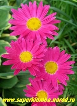 """ПИРЕТРУМ """"Гигант Робинсона МАЛИНОВЫЙ""""  (Pyrethrum hybridum """"Robinsons Giants"""") крупный цветок, диаметр 7- 8 см, цветет июнь-июль, высота 70 см,  ЦЕНА 200 руб (1 делёнка)"""