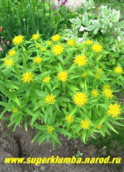 ОЧИТОК ЖИВУЧИЙ МАКСИМОВИЧА (Sedum aizoon maximowiczii). Растение до 60 см высотой с прямыми стеблями, густо облиственными удлиненно-ланцетными, почти кожистыми листьями. Цветет очень обильно в июне-июле. ЦЕНА 150 руб (1 деленка)