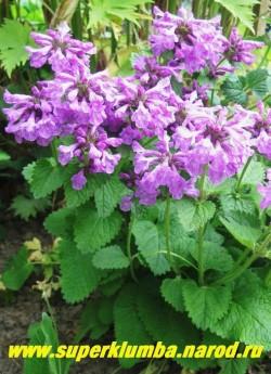 БУКВИЦА КРУПНОЦВЕТКОВАЯ (Betonica grandiflora). Крупные сиреневые цветки собраны в головчатые соцветия , Красивые сердцевидные листья сохраняют декоративность до заморозков, высота с цветоносами до 50см, цветет июнь-июль ЦЕНА 150 руб