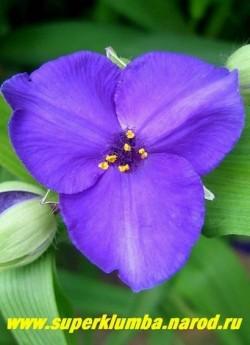"""ТРАДЕСКАНЦИЯ """"ЛЕОНОРА"""" (Tradescantia """"Leonora"""") фиолетово-синие цветы с золотыми тычинками, диаметр цветка 4 см, цветет июнь-сентябрь, высота 50 см, НОВИНКА! ЦЕНА 150 руб (1 шт) или 300 руб (куст)"""