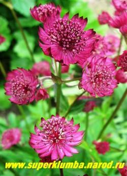 """АСТРАНЦИЯ БОЛЬШАЯ """"Мулен Руж"""" (Astrantia major ''Moulen Rouge'') Удивительно яркая астранция с красно-бордовыми цветами! Очень длительное цветение июня по август , часто используется на срезку. Высота куста до 70 см.  ЦЕНА 200 руб (1дел)"""
