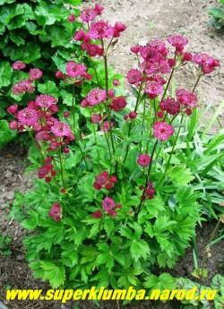 """цветущий кустик АСТРАНЦИИ БОЛЬШОЙ """"Мулен Руж"""" (Astrantia major ''Moulen Rouge'') в моем саду . ЦЕНА 200 руб (1дел)"""