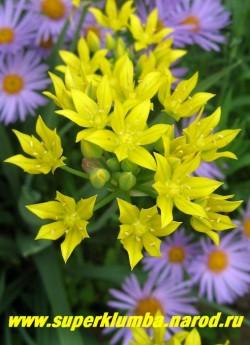 ЛУК МОЛЯ или ЗОЛОТОЙ (Allium moly) соцветие крупным планом. ЦЕНА 100 руб( 5 лук.)