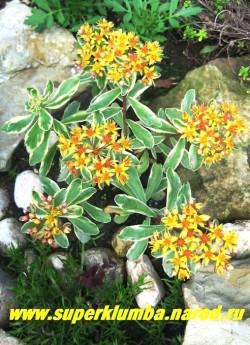 ОЧИТОК КАМЧАТСКИЙ ВАРИЕГАТУМ( Sedum kamtschaticum f. variegatum ), листья тупые, на верхушке зубчатые, зеленые с кремовым краем . выс. до 15 см, Цветки оранжево-желтые, собраны в щитковидные соцветия. Цветет в июне-июле.   НЕТ В ПРОДАЖЕ