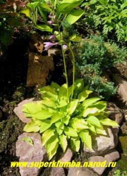 """Хоста ШАЙНИ ПЕННИ (Hosta """"Shiny Penny"""") размер D. Карликовая желтолистная хоста с красными черешками и высокими  цветоносам с фиолетовыми цветами. Великолепно подходит для горок, высота 5-7 см, стартует лимонно-желтого цвета постепенно желтизна становиться более яркой, цветы темно-фиолетовые. ЦЕНА 250 руб (1 шт)  или 500 руб  (кустик: 3-4 шт)"""