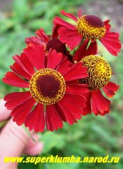"""ГЕЛЕНИУМ ОСЕННИЙ """"РУБИ ТЬЮЗДИ"""" (Helenium autumnale """"Ruby Tuesday"""") цветы тёмно-красные, куст очень компактный, цветёт с конца июля. Высота всего 50 см,  НЕТ В ПРОДАЖЕ"""