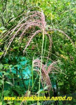 МИСКАНТУС КИТАЙСКИЙ (Miscanthus sinensis) Соцветие в начале роспуска.  ЦЕНА 150 руб (делёнка)