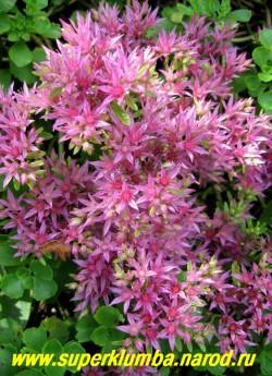 """соцветие ОЧИТКА ЛОЖНОГО """"Пурпурный"""" (Sedum spurium var. coccineum)  крупным планом. Хорошо мирится с затенением, но пышнее и обильнее цветет на солнце. ЦЕНА 100-150 руб"""