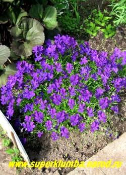 """ФИАЛКА РОГАТАЯ """"Чернильная"""" (Viola cornuta) , стабильный многолетник, образует кустики высотой 15- 20 см, цветет весь сезон крупными чернильными цветами, высота 10-15  см, ЦЕНА 200-250 руб (1 дел)"""