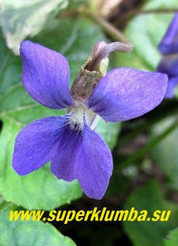 """ФИАЛКА МОТЫЛЬКОВАЯ """"Фреклес  Бинстед"""" (Viola papilionacea """"Freckles Binsted"""")   цветок крупным планом. НОВИНКА! ЦЕНА 400 руб.  (1 дел)"""