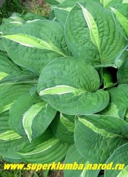 Хоста СТРИПТИЗ (Hosta Striptease).  В центре сине-зеленого листа овальное кремовое пятно, окаймленное тонкой белой линией. у молодых растений окраска может проявляться не полностью. Одна из самых интересных и неповторимых хост. ЦЕНА 250 руб.