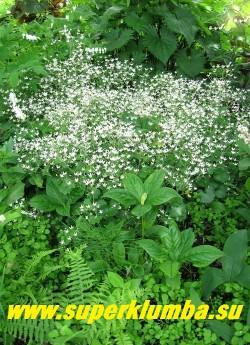 КАМНЕЛОМКА КРУГЛОЛИСТНАЯ (Saxifraga rotundifolia) Разрастается небольшими куртинами, составленными из розеток плотно прилегающих друг к другу. Листья округлые, на длинных черешках. Цветет пышно и красиво в начале лета. Цветоносы с метелками белых с пурпурными крапинками цветков.  Высота до 30 см НОВИНКА! ЦЕНА 150-200 руб (делёнка)